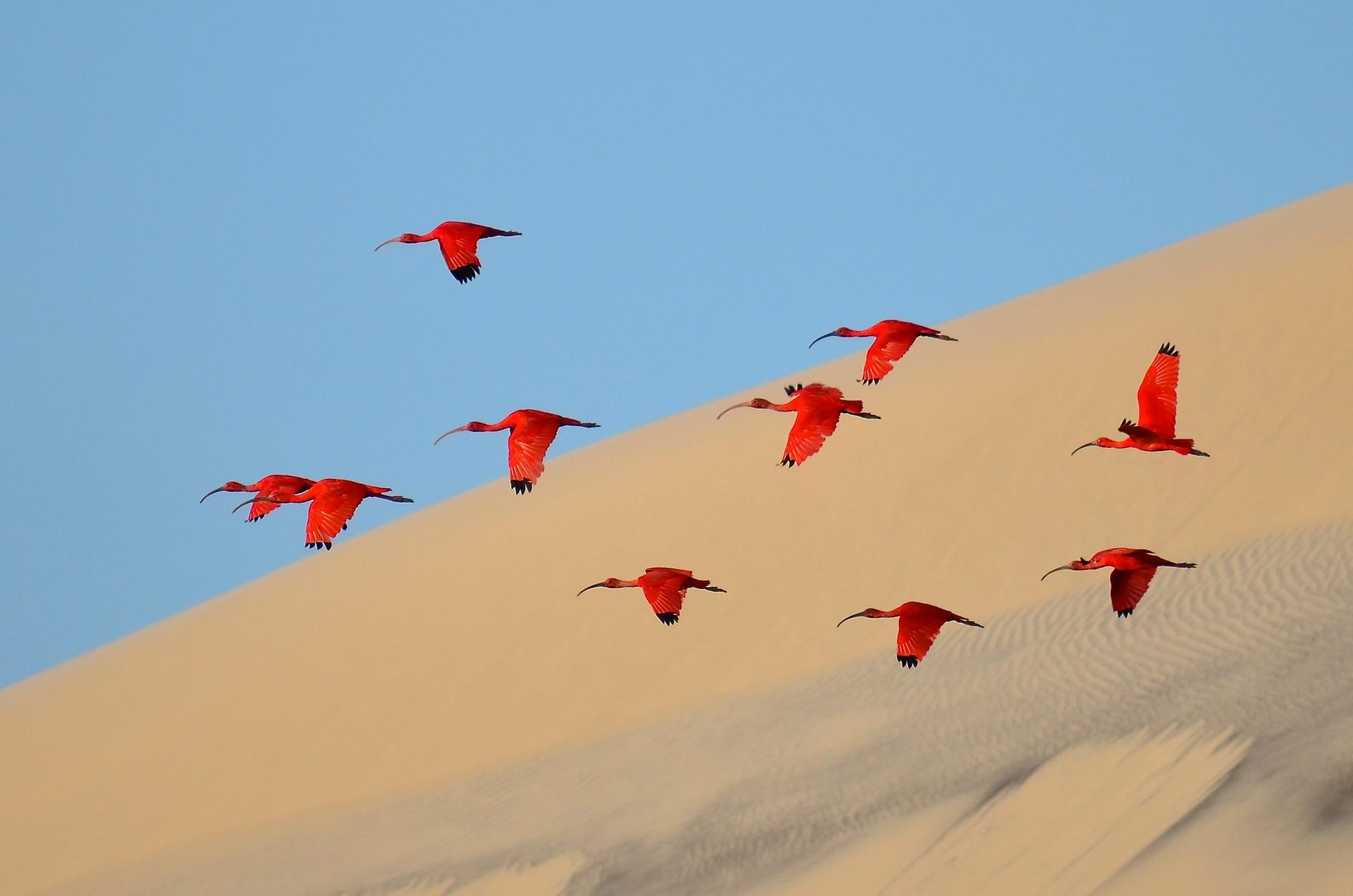 Полетът на алените Ибиси