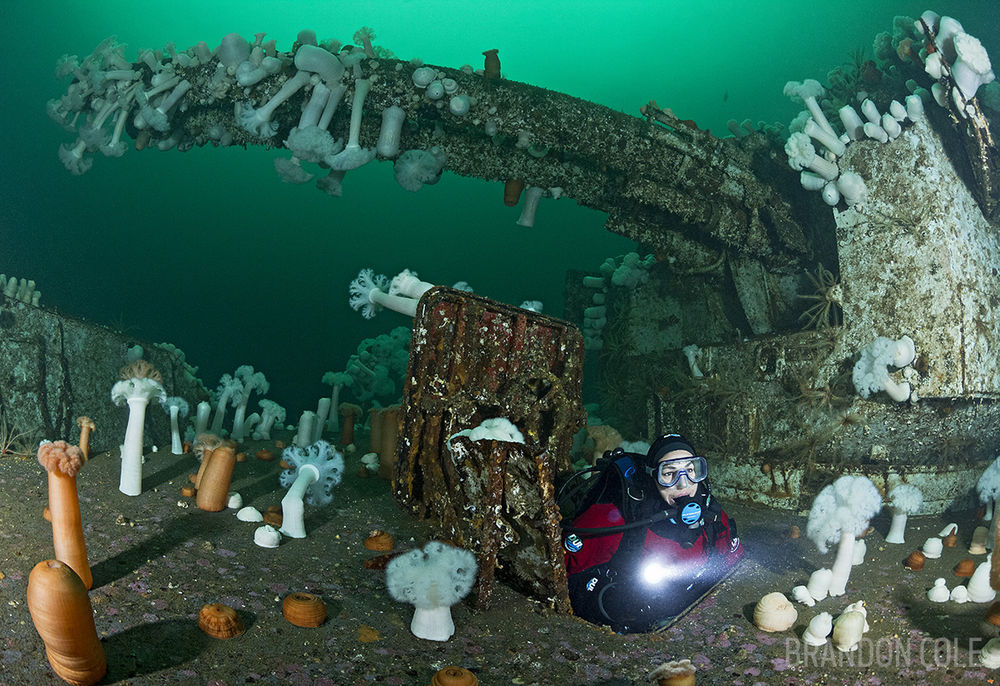 TF0126-Dr. Scuba diver (model released) exiting compartment at 90 feet deep underneath massive bow guns and turret on the front deck of the HMCS Saskatchewan, a superb shipwreck near Nanaimo now overgrown with life including giant plumose sea anemones (Metridium farcimen). British Columbia, Canada, Pacific Ocean. Photo Copyright © Brandon Cole. All rights reserved worldwide. www.brandoncole.com